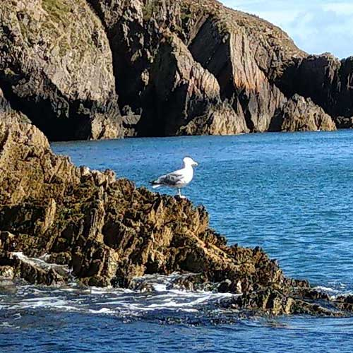 Sea Gull On Rocks In Ramsey Island